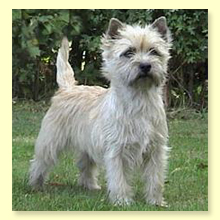 Cairn Terrier Blondi
