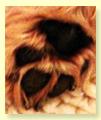 Beschreibung Cairn Terrier