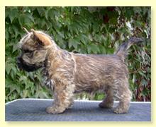 Cairn Terrier Welpen von Cairn Ladys Ilona Bretschneider